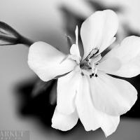 Pelargonium peltatum hybrids